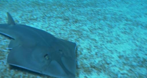common guitarfish 01 Footage