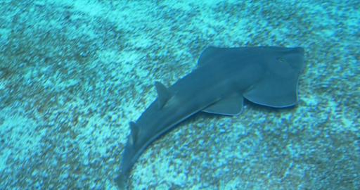 common guitarfish 02 Footage