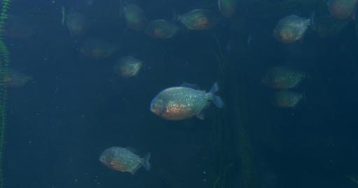 piranha 02 Footage