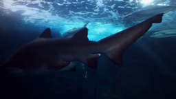 Shark Swimming In The Fish Tank stock footage