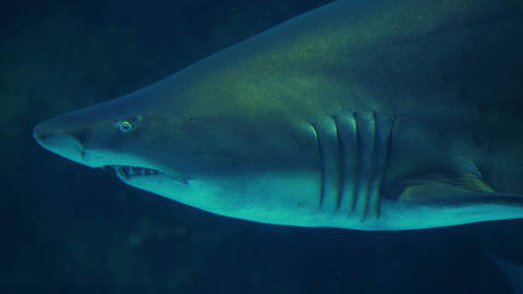 Shark Swimming In A Tank stock footage