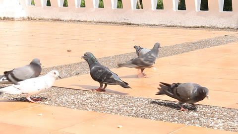 Pigeons are Eating Crumb Live Action