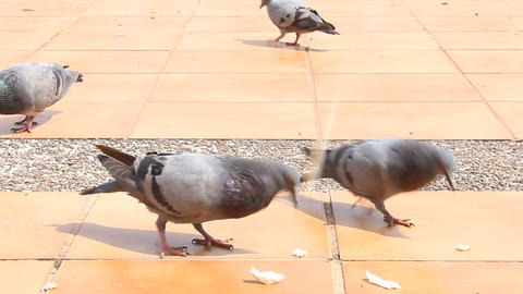 Doves Feeding by Crumb Footage