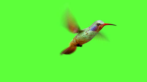 Humming Bird On White And Black Backgrounds stock footage