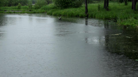 Wild Ducks On A Pond Footage