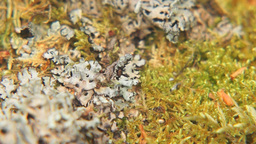 Close up of moss and lichen on the tree Footage