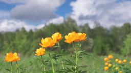 Bright orange flowers on a meadow Footage