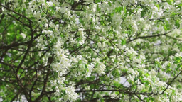Branches of luxuriantly blooming apple tree Footage