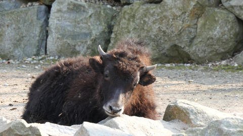 Young Yak Footage