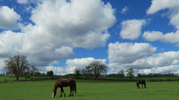 Horses In Field stock footage