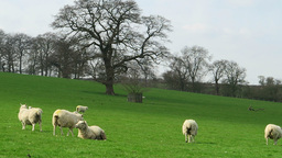 Sheep Resting In Field stock footage