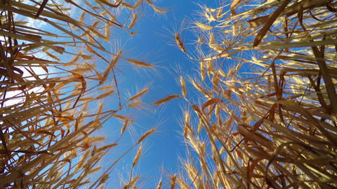 Golden Wheat Ready to be Harvested Footage