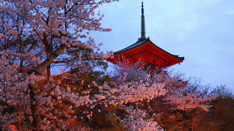 Evening. Blooming Cherry In Kyoto stock footage