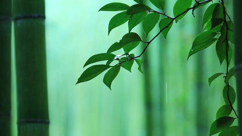 Bamboo forest in rainy weather ライブ動画