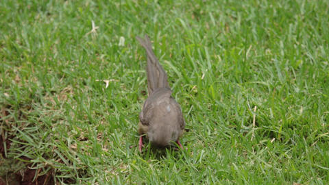 Long tailed Speckled Mousebirdeating off the grass Live Action