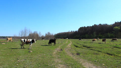 cows on the pasture Footage