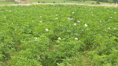 Potato Flower Culture Footage