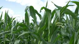 Growing Corn Ear Footage