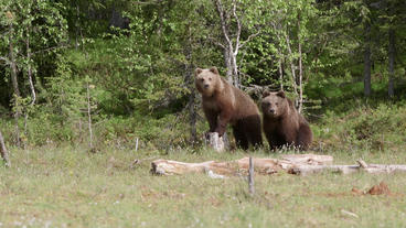 Two young brown bears walking standing looking alerted Live Action