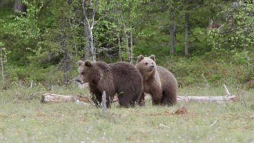 Two young brown bears standing looking alerted Live Action
