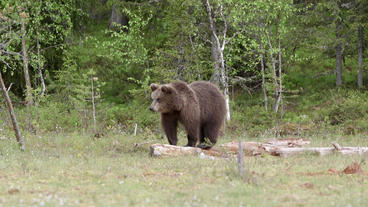Brown bear standing on old branch in swamp Live Action