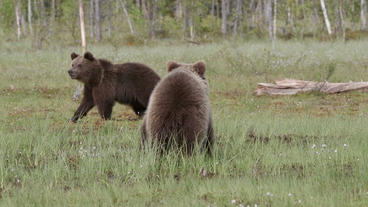 Two brown bears passing in swamp Live Action