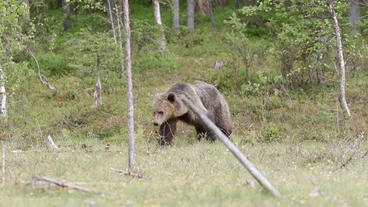 Brown bear walking out of forest towards camera Live Action