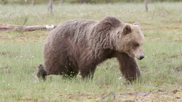 Brown bear walking in swamp Live Action
