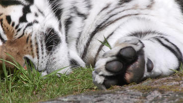 Tiger on ground fast pan from head to paws Footage