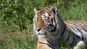 Tiger laying on grass looking alerted Footage