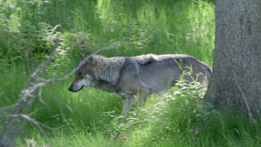 Wolf Running Behind Trees High Grass stock footage