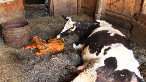 Milkmaid Helps Cow To Give Birth stock footage