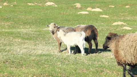 Sheep Grazing On The Grass stock footage