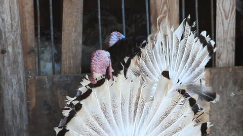 The Important Turkey-cock In A Zoo stock footage