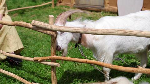 White goat feeding farm. Domestic animals on farm Footage