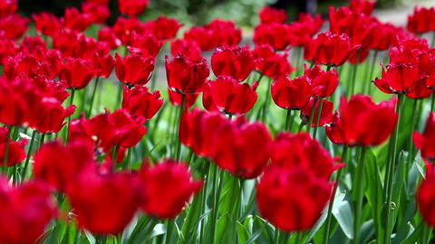 Red tulips field, tulips in the garden Footage