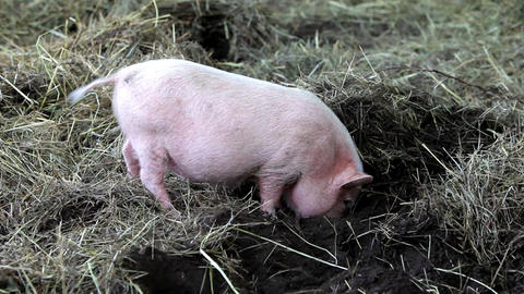 Pig digs nose to the ground. Pig is digging the ground Live Action