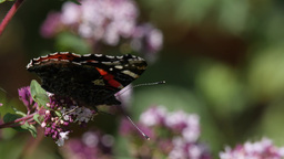 Red Admiral Feeding On A Blossom (4K, 25fps) stock footage