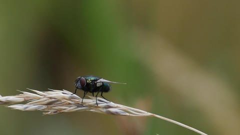Slow Motion Of A Blow Fly Resting And Starting stock footage