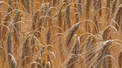 Ears of ripe barley moving in the wind, (4K, 25fps) Footage