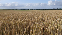 A Field Of Wheat Under A Summer Sky, (4K, 29,97fps) stock footage