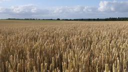 A field of wheat under a summer sky, (4K, 29,97fps) Footage