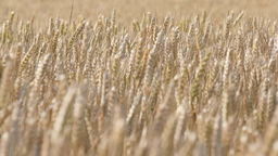 Ears of wheat waving in the summerwind, (4K, 29,97fps) Footage