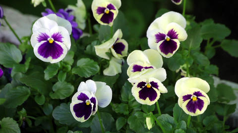 Close Up Of Pansy Flowers In The Garden Moving On The Wind stock footage