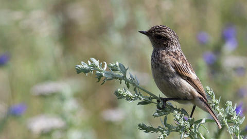 Fledgling stonechat 5 Footage