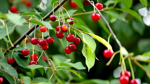 Cherry Tree Full Of Red Cherries Footage