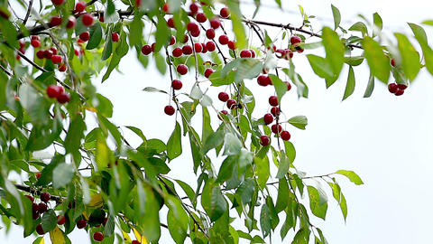 Cherries on a branch Footage