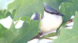 Nuthatch framed by maple leaves Footage