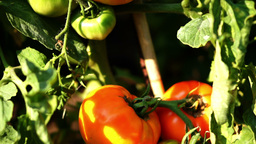 OrganicTomatoes In The Garden, Pan stock footage