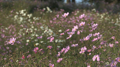 Fowers of Cosmos,in Showa Kinen Park,Tokyo,Japan_5 Stock Video Footage